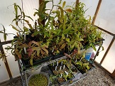 *PAID*(PsychoSarah  ) Cutting of any Nepenthes-20170411_134834-jpg