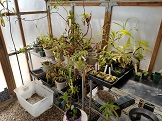 *PAID*(PsychoSarah  ) Cutting of any Nepenthes-20170411_134841-jpg