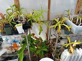 *PAID*(PsychoSarah  ) Cutting of any Nepenthes-20170411_134847-jpg