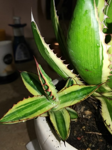 PAID (chibae ) Agave lophantha quadricolor offset.-55698507_310545619629104_4520744668664692736_n-jpg