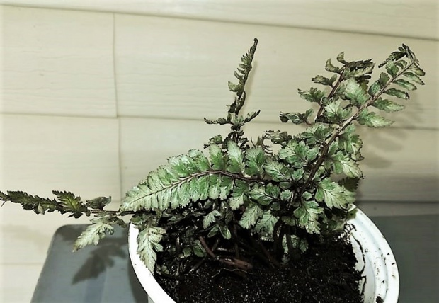 PAID (Acro ) Japanese painted fern starter plant-56927239_376828429576321_5372097028857790464_n-3-jpg