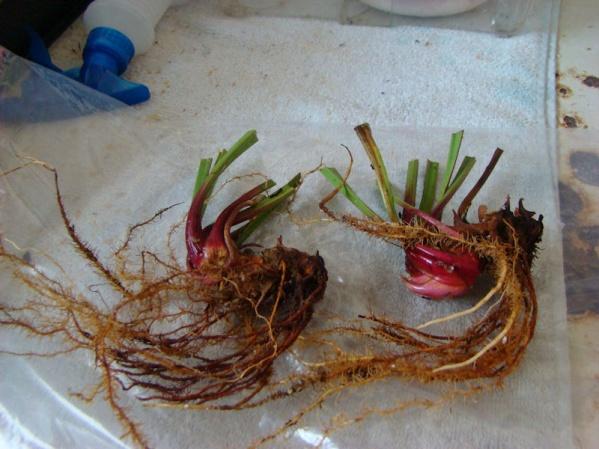 PAID (tjwilt ) S. leucophylla  Baldwin Co, AL (2) dormant rhizomes!-dsc06237-jpg