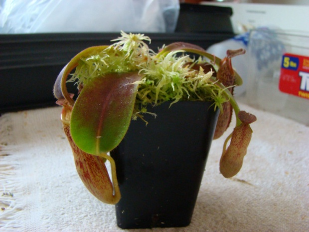 PAID (Est ) Nepenthes with no ID-dsc06238-jpg