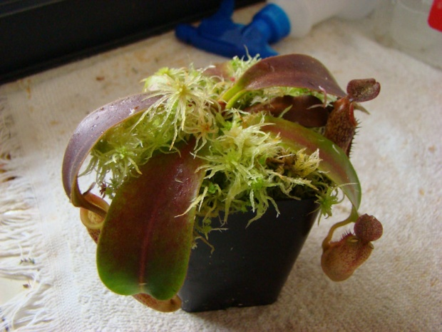 PAID (Est ) Nepenthes with no ID-dsc06239-jpg