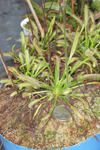 PAID (Cross ) Drosera capensis Typical Form Adult plant-dsc08082-jpg