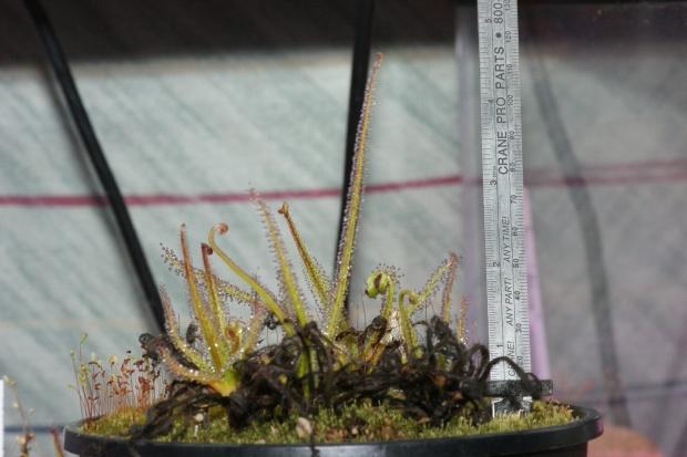 PAID (DKimberl  )  regia 4-Pack seedgrown 2 year old plants-dsc08087-jpg