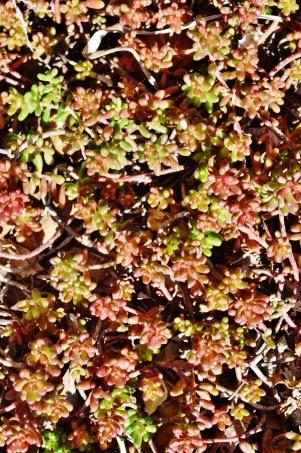 PAID (Acro ) Low growing sedum, several cuttings-dsc_0287-jpg