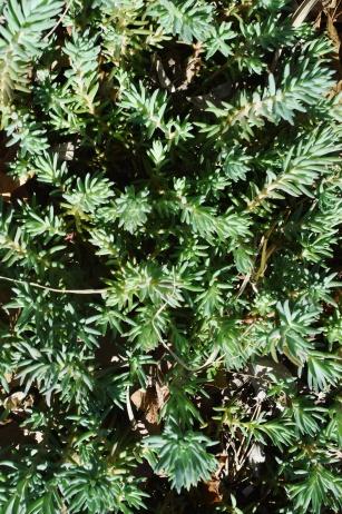 PAID (Acro ) Low growing sedum, several cuttings-dsc_0289-jpg