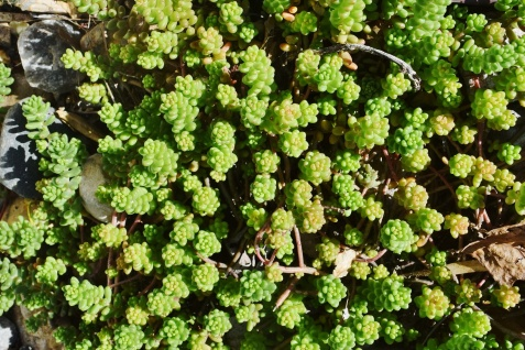 PAID (Acro ) Low growing sedum, several cuttings-dsc_0298-jpg