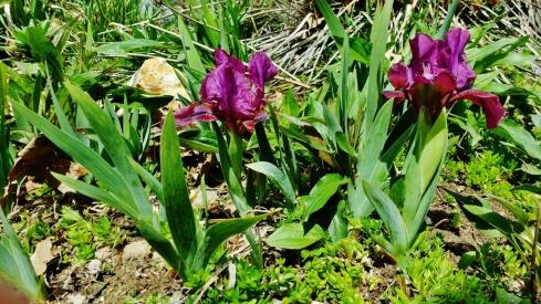 PAID (boarderlib )   5 Mini Iris Bulbs-img_20160406_134740161-jpg