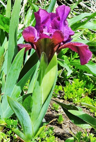 PAID (hcarlton  ) 5 Mini Iris Plants-img_20160406_134741533-2-jpg
