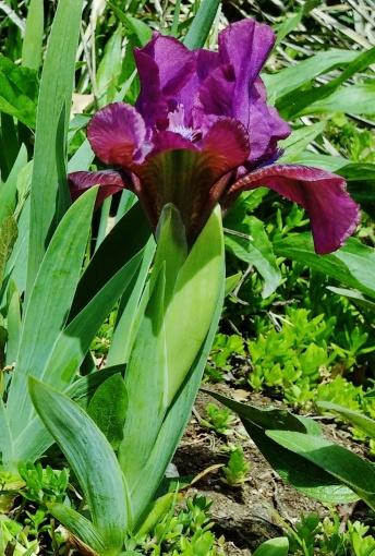 PAID (boarderlib )   5 Mini Iris Bulbs-img_20160406_134741533-jpg