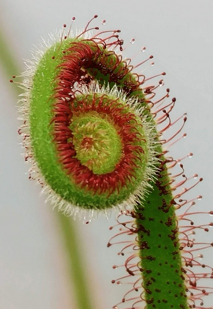 PAID (pozlife91 ) Drosera spiralis seeds-img_20181025_122946-jpg