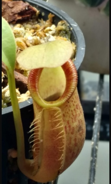 PAID (Houstonherp ) Nepenthes spathulata x talangensis-img_20190404_101014-jpg