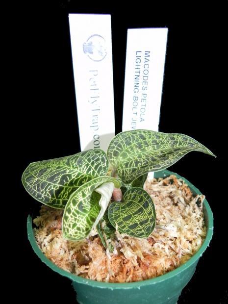 PAID (cyberbrax ) Lightning-Bolt Jewel Orchid - Macodes petola --macodes-petola-pft2-jpg