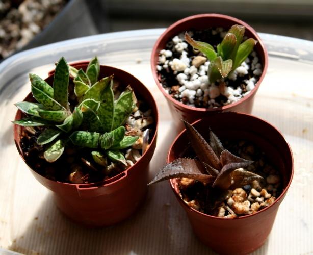 PAID (Est ) succulent 3 pack-nasc-haw-gast-pkg-1-jpg