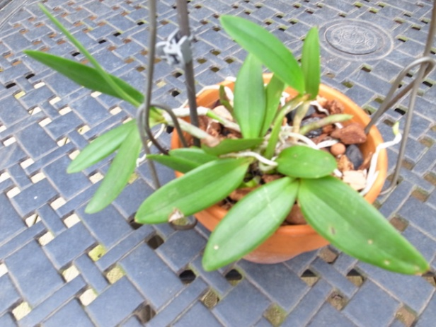 PAID (NewspaperFort )  Orchid:  Cattleya intermedia-r0017735-jpg