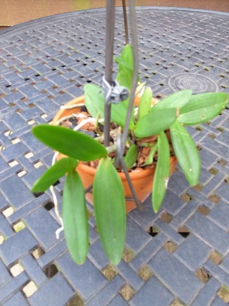PAID (NewspaperFort )  Orchid:  Cattleya intermedia-r0017738-jpg