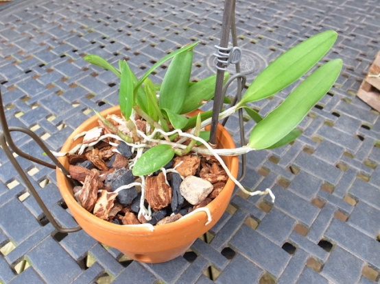 PAID (NewspaperFort )  Orchid:  Cattleya intermedia-r0017741-jpg