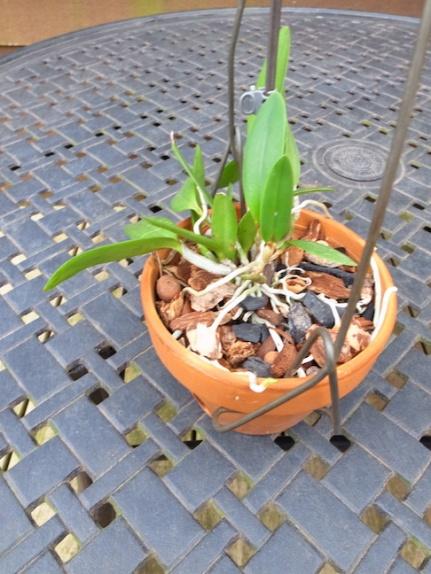 PAID (NewspaperFort )  Orchid:  Cattleya intermedia-r0017744-jpg