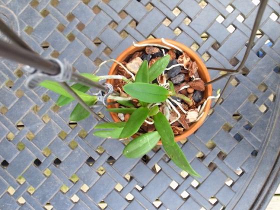 PAID (NewspaperFort )  Orchid:  Cattleya intermedia-r0017749-jpg