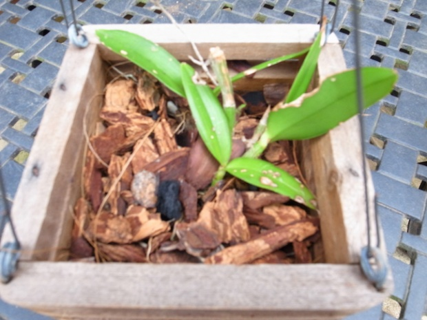 PAID (NewspaperFort )  Orchid:  Cattleya intermedia-r0017750-jpg