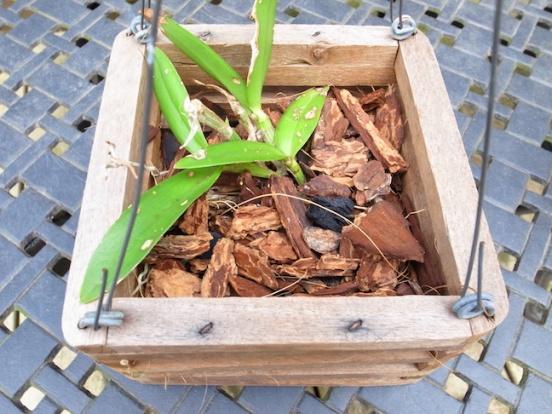 PAID (NewspaperFort )  Orchid:  Cattleya intermedia-r0017753-jpg