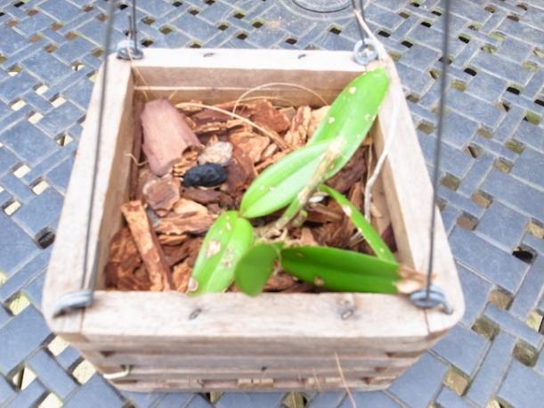 PAID (NewspaperFort )  Orchid:  Cattleya intermedia-r0017759-jpg