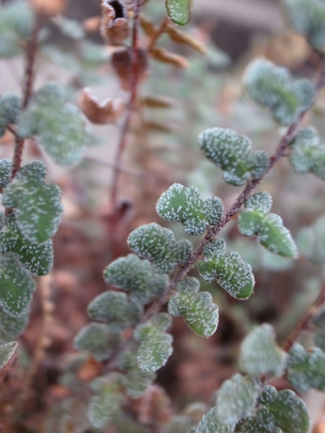 PAID (Sandy22 ) US desert fern:  Astrolepis cochisensis (or integerrima?)-r0017788-jpg