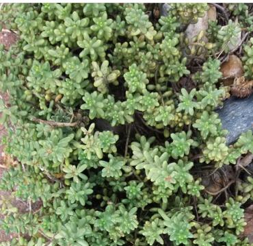 PAID (Acro ) Low growing sedum, several cuttings-screenshot-461-jpg