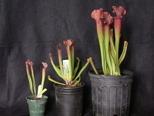 **PAID**(carolatcj  ) Sarracenia 'Judith Hindle'-sxjhin-jpg