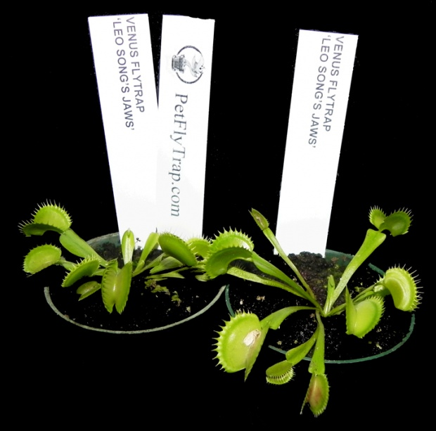 PAID (pozlife91 ) Venus Flytrap 'Leo Songs Jaws' - Small Potted-vftlsjsp-jpg