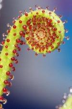 Drosophyllum DSC07121_Small.jpg