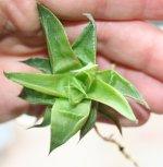 Haw retusa acuminata take two.jpg