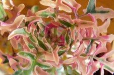 Senecio Articulatus - The Succulent World (2).jpg