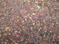 Drosera darwinensis.jpg