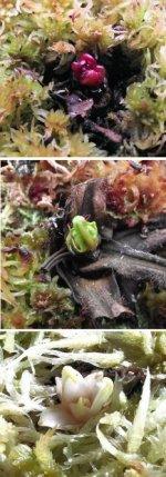 Drosera regia winter bud.jpg