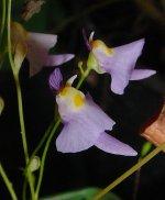 330px-Utricularia_warburgii.jpg