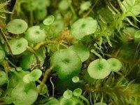 330px-Utricularia_pubescens.JPG