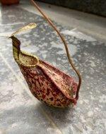 nepenthes rafflesiana.jpg