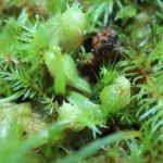 nmacrophylla.jpg
