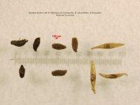 D. filiformis, D. intermedia, D. rotundifolia 0.05 mm per div 2 Paint 3D.jpg