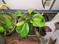 new nepenthes Black Truncata pictures 001.JPG