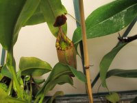 new nepenthes Black Truncata pictures 005.JPG