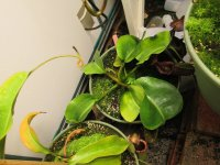 new nepenthes pictures 004.JPG