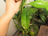 new nepenthes pictures 008.JPG