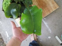 new nepenthes pictures 012.JPG