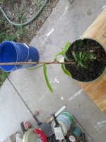new nepenthes pictures 013.JPG