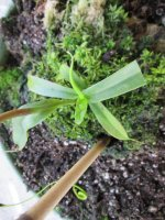 new nepenthes pictures 014.JPG